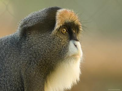 Debrazza's Monkey at the Sedgwick County Zoo, Kansas
