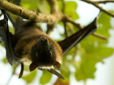 Indian Flying Fox from the Sedgwick County Zoo, Kansas