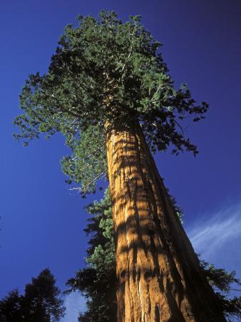 Giant Sequoias in Sequoia National Park, California