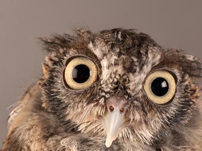 Eastern Screech Owl, Lincoln, Nebraska