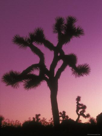 Joshua Trees with Colored Gel, California