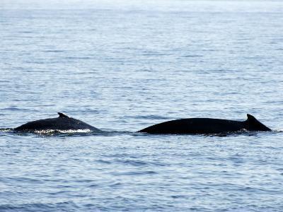 Humpback Whale Female Traveling with Calf, Massachusetts