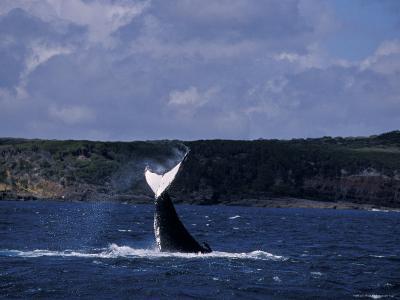 Humpback Whale Displays its Tail Flukes against a Ruggered Coastline, Australia