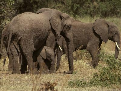 Elephant Herd Protecting a Small Calf, Hiding Underneath its Mother