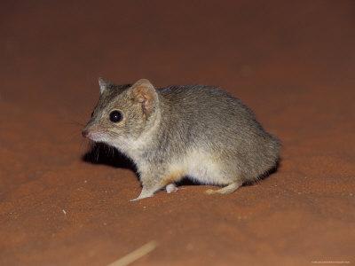Endangered Mulgara, Ampurta, Hunting and Foraging on a Sand Dune, Australia