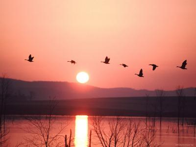 Flock of Canada Geese Flying over a Lake at Sunset, Pennsylvania