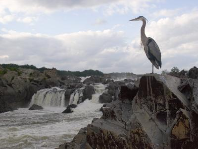 Great Blue Heron on Rock Overlooking Great Falls