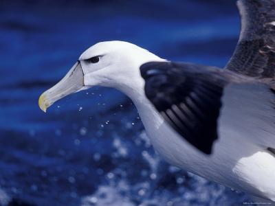 Head, Eye and Beak Detail of a Vulnerable Shy Albatross in Flight, Australia