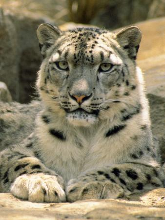 Frontal Portrait of a Snow Leopard's Face, Paws and Predators Stare, Melbourne Zoo, Australia