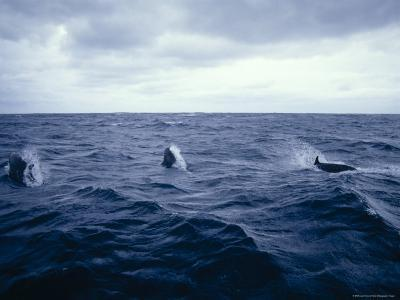 False Killer Whales Leaping and Breaching on a Stormy Ocean Surface, Australia