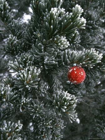 Holiday Ornament Hanging on Snow Dusted Pinion Tree, Colorado