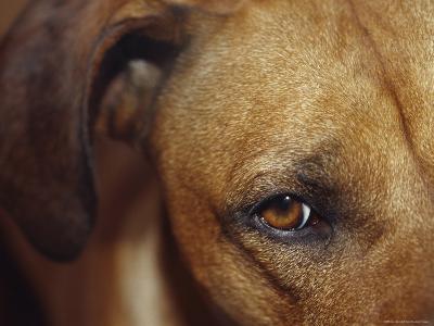 Floopy Ear and Watchful Stare of a Rhodesian Ridgeback Dog, North Carlton, Australia