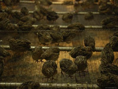 Japanese Coturnix Quail at a Hatchery, Bartlesville, Oklahoma