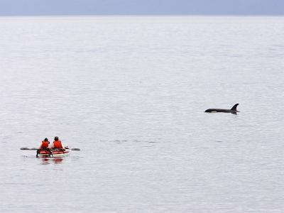 Kayakers Watch a Passing Killer Whale