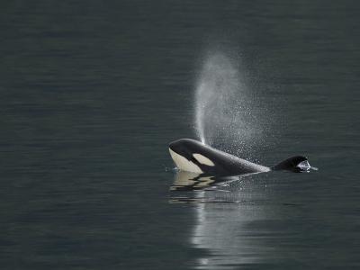 Killer Whale Calf Blows as It Surfaces