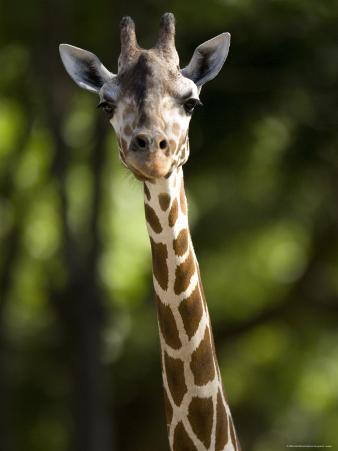 Reticulated Giraffe at the Henry Doorly Zoo in Omaha, Nebraska