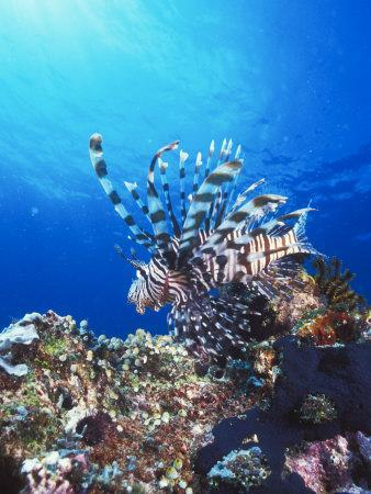 Lion Fish, Scorpionfish in Blue Water over Reef, Pterois Volitans, Solomon Islands