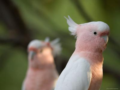 Leadbeaters or Major Mitchell's or Pink Cockatoo
