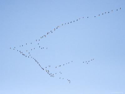 Migrating Canada Geese Flying North over Pennsylvania