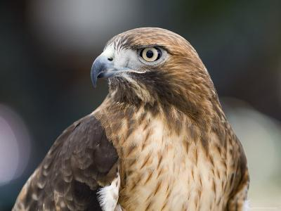 Recovering Captive Red-Tailed Hawk, California