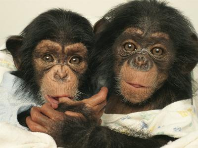 Portrait of Two Young Laboratory Chimps Used in Aids Research
