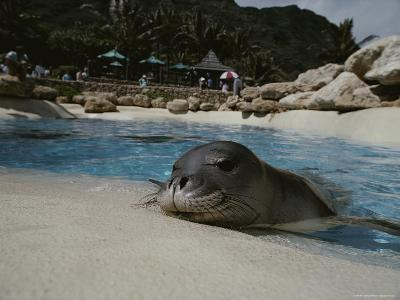 Orphaned Hawaiian Monk Seal Relaxes at the Side of a Pool