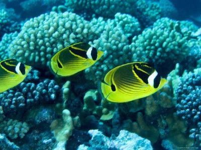 Several Racoon Butterflyfish, Takapoto Atoll, French Polynesia
