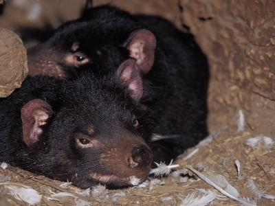 Tasmanian Devils Rest in a Hollow Log with Feathers Left from a Meal, Australia