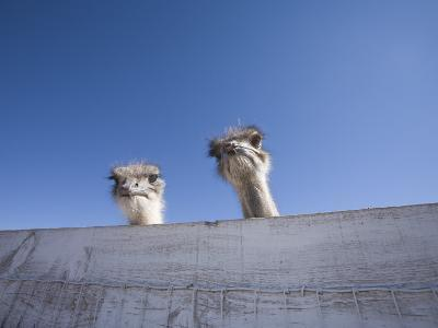 Two Ostrich Looking over a Fence, Arizona
