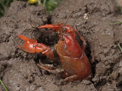 Upland Burrowing Crayfish in a Burrow
