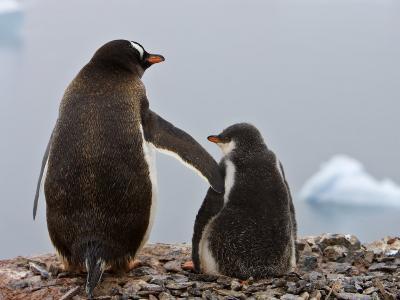 Tender Moment, Gentoo Penguins, Antarctica