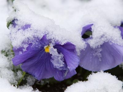 Snow on Pansies, Lexington, Massachusetts