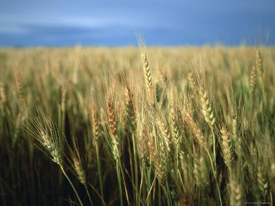 Winter Wheat in Linn, Kansas