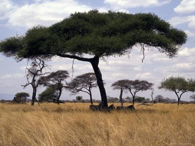 Zebra Shading Themselves under an Umbrella Acacia Tree