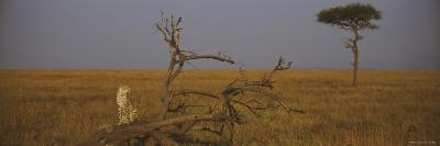 African Cheetah Sitting on a Fallen Tree, Masai Mara National Reserve, Kenya
