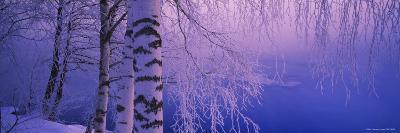 Birch Tree at a Riverside, Vuoksi River, Imatra, Finland