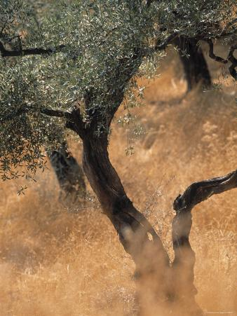 Olive Tree, Turkey