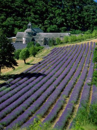 Senaque Abbey and Lavender Fields, Gordes, Provence, France
