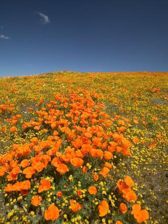California Poppies, Antelope Valley, Lancaster, California