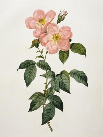 Rosa Indica Frangras