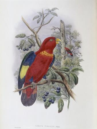 Blue, Thighed Lory
