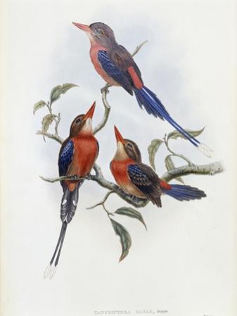 Crimson and Brown Kingfisher