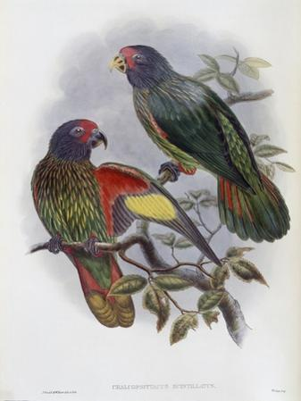Red Fronted Lory