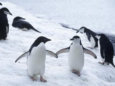 Adelie and Chinstrap Penguin, Antarctica