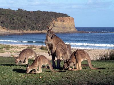 Group of Kangaroos Grazing, Australia