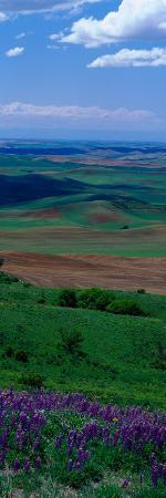 Fields and Wildflowers, Palouse Country, Eastern