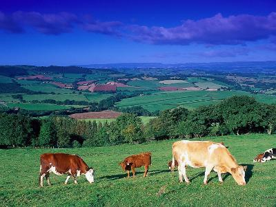 Cows in the Valley, South Wales