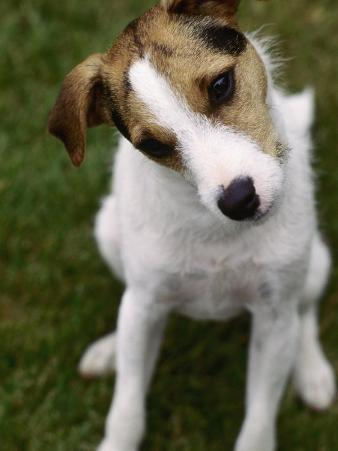 Jack Russell Terrier Sitting in Backyard