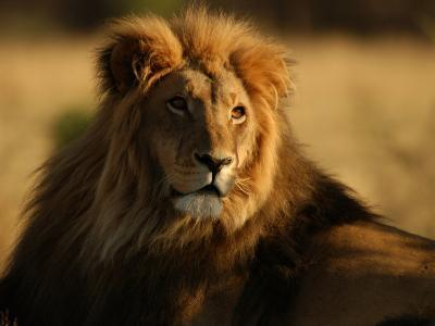 Lions, Namibia, Africa