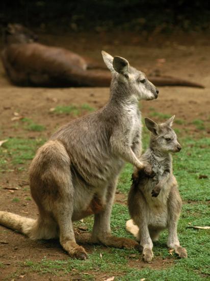 Female Kangaroo With Joey Australia Photographic Print By